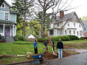 A new cherry tree for one of the oldest homes on the street